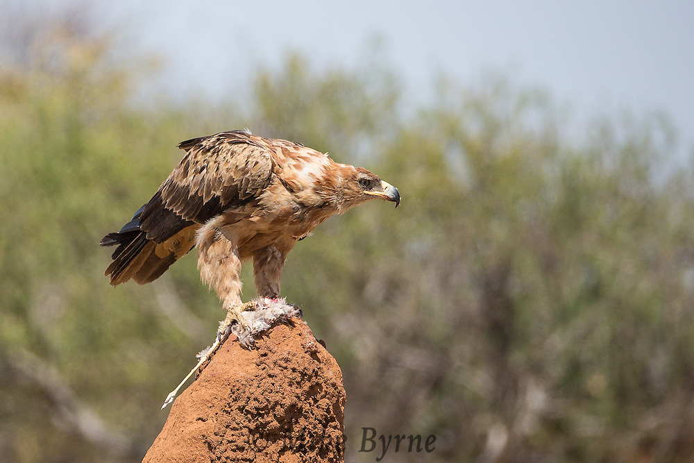 Tawny eagle on a termite mound near the entrance to Erindi.