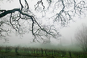 Stony Hill Winery, St. Helena, CA (Napa Valley) in the foggy winter rain. Stony Hill Winery is known for producing fine white wines which are aged in oak barrels that have been used for as many as 30 years, thereby not adding much oak flavor at all to the wine..