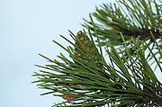 Cyprus, Troodos mountains, close up of a Black pine cone Pinus nigra