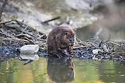 North American Beaver<br /> Castor canadensis<br /> On dam in urban environment<br /> Martinez, CA