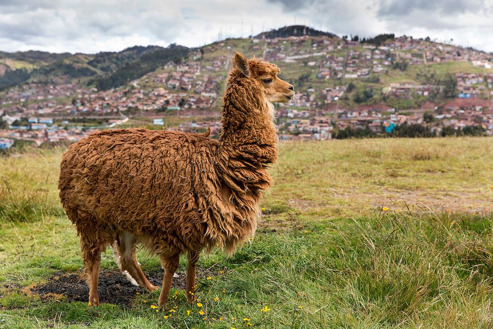 Peru, Cusco, Alpaca (Vicugna pacos) resting in field overlooking Saksaywaman Inca temple