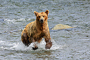 An Alaskan Brown bear running in the shallow water of the Brooks River at Katmai National Park.