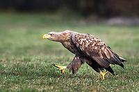 Gehender Seeadler