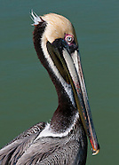 Ducklike Birds, Seabirds & Gulls