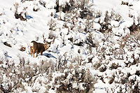 As the snow level lowers in the mountain valleys of northern Utah the Mule deer that stay hidden for most the year shows themselves it's a great time to view this beautiful animal!