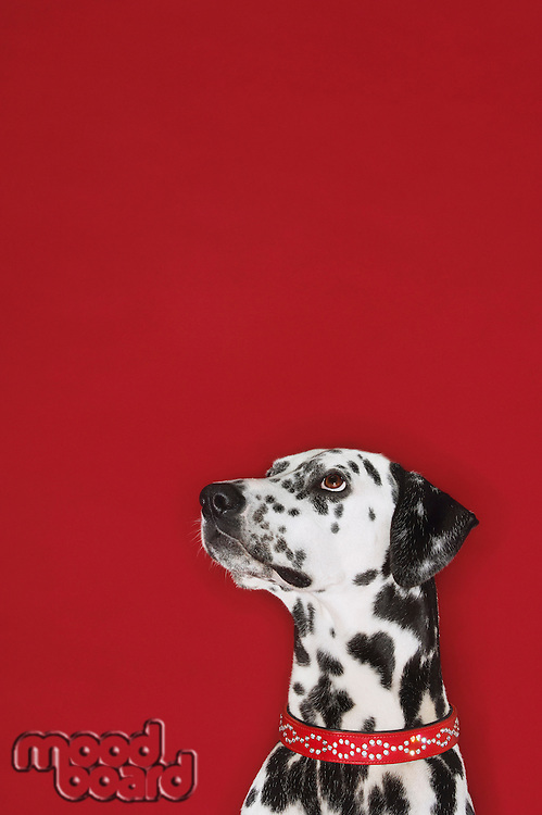 Dalmatian sitting looking up head and shoulders