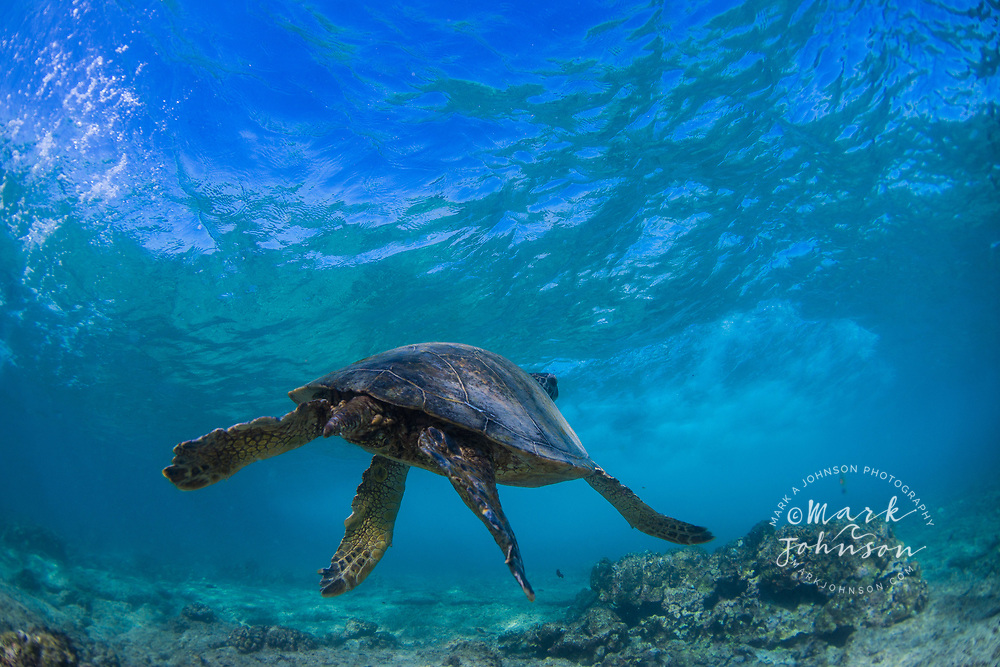 Green Sea Turtle underwater, Puako Bay, Big Island (Hawaii Island), Hawaii