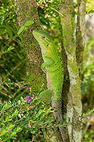 Black Ctenosaur [Ctenosaura similis] hiding on tree trunk; Hacienda Baru Wildlife Refuge, Costa Rica