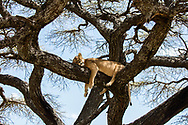 Lioness asleep in an Acacia tree, Serengeti, Tanzania