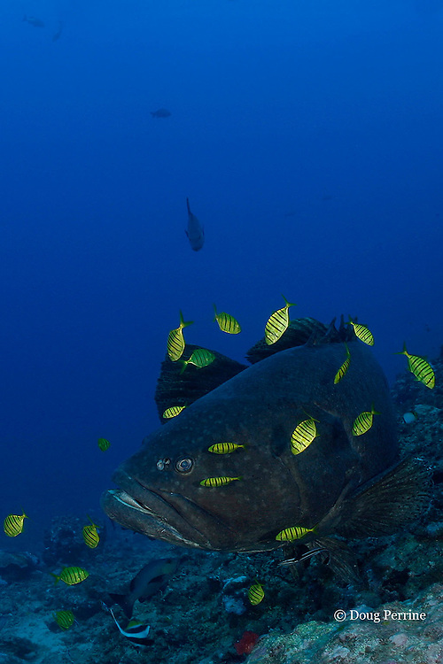giant grouper or Queensland groper, Epinephelus lanceolatus, accompanied by juvenile golden trevally, Gnathanodon speciosus, Shark Reef Marine Reserve Beqa Passage, Viti Levu, Fiji ( South Pacific Ocean )