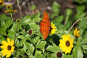 Gulf Fritillary Butterfly sipping nectar from yellow daisy on a South Georgia Island. Jekyll Island Georgia.
