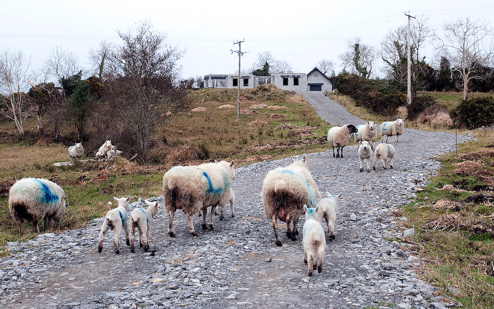 Sheep on an unfinished driveway of an abandoned new build house on the Drumshanbo-Keshkerrigan road, in Co. Leitrim, Ireland.