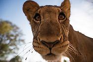 lion, Panthera leo, Löwe, león, ライオン, Løve, 狮, أسد
