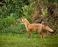 Red Fox. Image taken with a Nikon D5 camera and 600 mm f/4 VR lens