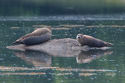 Seals in Bagaduce River, Castine, Maine, US