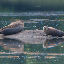 Seals in Bagaduce River, Castine, Maine, US
