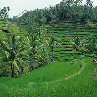 Indonesia, Bali, Farmer walks through lush green rice terraces near Ubud