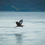 Heron flying over the waters of Dash Point State Park - Federal Way, WA