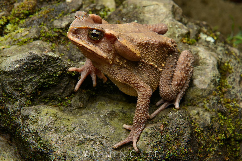 Sulawesi Toad (Ingerophrynus celebensis)