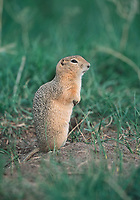 Richardson s ground Squirrel Spermophilus richardsonii