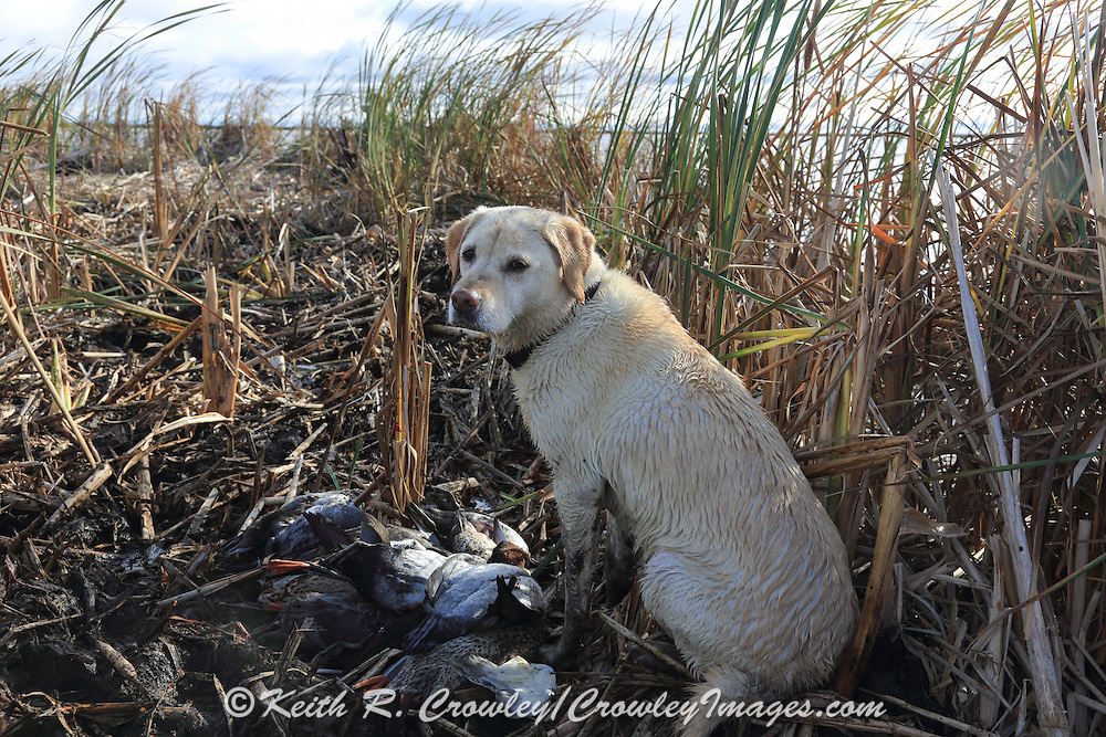 Ten Year Old Yellow Labrador Retriever During a Manitoba Waterfowl Hunt