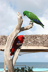 Red and green Eclectus Parrot (Eclectus roratus).  Parrots on a tree in Anguilla, Caribbean