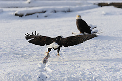 This photo is part of a sequence in which a bald eagle drags a salmon from the Chilkat River only to eat it in front of the eagle that it dragged it up to. In this image (fourth of the tweleve image sequence) a second eagle continues to drag a salmon from the river towards the other eagle. The photo was taken in the Alaska Chilkat Bald Eagle Preserve near Haines, Alaska. During late fall, bald eagles congregate along the Chilkat River to feed on salmon. This gathering of bald eagles in the Alaska Chilkat Bald Eagle Preserve is believed to be one of the largest gatherings of bald eagles in the world.