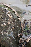 Common Periwinkle snails exposed on the rocks at low tide.