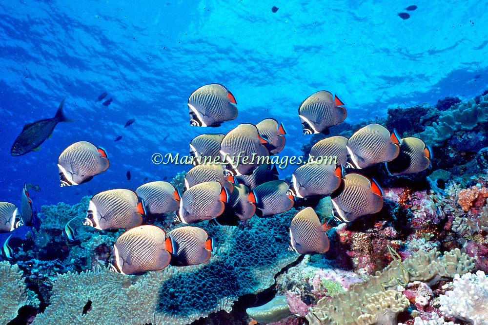 White Collar Butterflyfish inhabit reefs, occasionally form large schools. Picture taken Maldives.