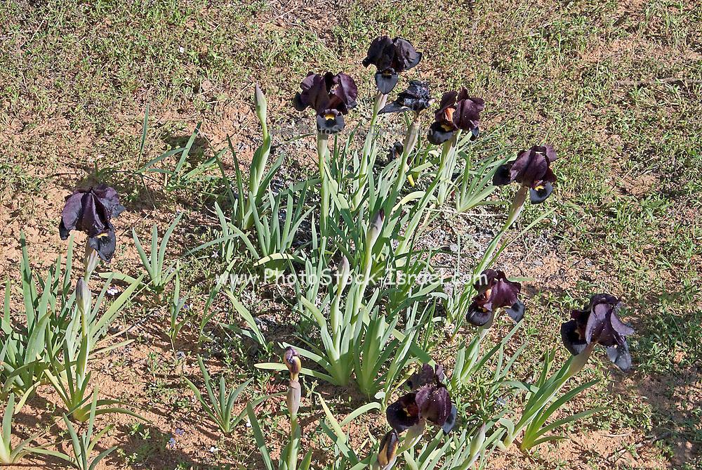 Coastal Iris or Purple Iris (Iris atropurpurea) This Iris is endemic to Israel Photogrpahed at the Iris Nature reserve in Israel in February