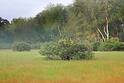 Blueberry bush in vernal pool; Vaccinium; autumn; NJ, Pine Barrens; National Pinelands Reserve