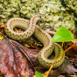 Brown snake, Storeria dekayi dekayi. Barrington, New Hampshire.