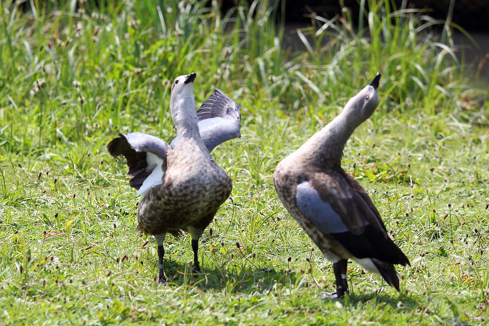 Male Abyssinian (blue-winged) geese put on displays of bravado to each other at the London Wetland Centre, Barnes, London