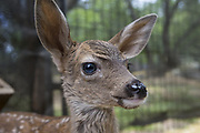 Black-tailed Deer<br /> Odocoileus hemionus<br /> Three-week-old orphaned fawn<br /> Kindred Spirits Fawn Rescue, Loomis, California