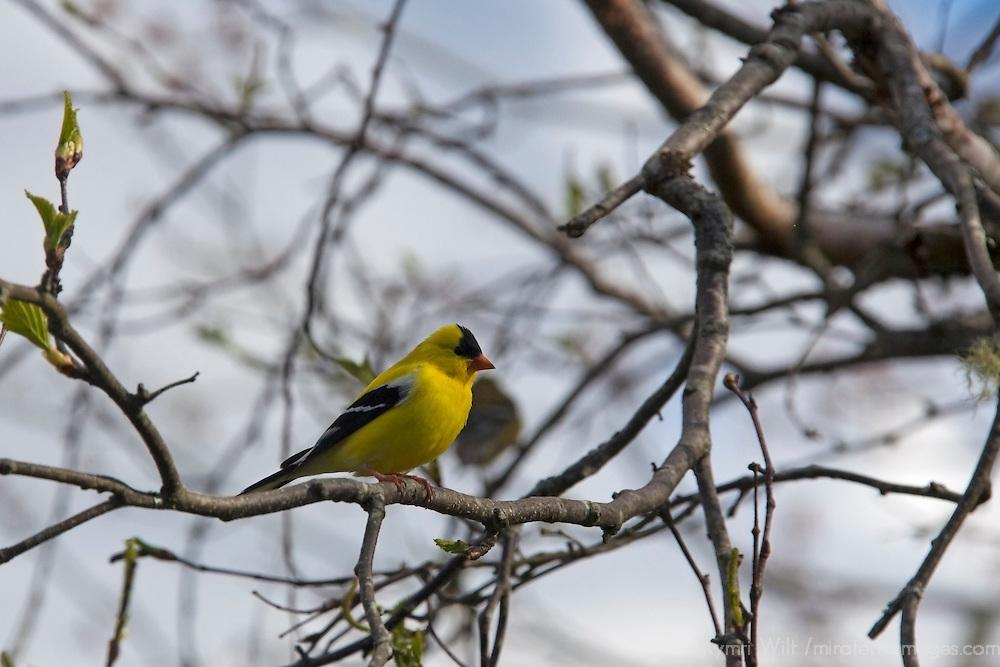 North America, Canada, Nova Scotia, Liscombe Mills.  American Goldfinch.