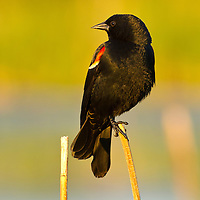 Red wing blackbird, Cherry River, Bozeman, Montana.