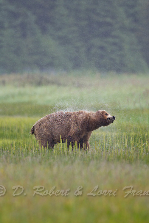 Alaskan brown bear in Lake Clark National Park