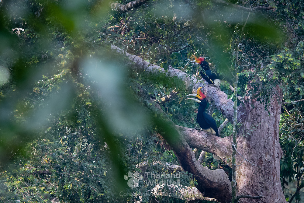 The rhinoceros hornbill (Buceros rhinoceros) is a large species of forest hornbill (Bucerotidae).It is found in lowland and montane, tropical and subtropical climates and in mountain rain forests up to 1,400 metres in southern Thailand. Here photographed in the Hala Bala Wildlife Sanctuary, Thailand.