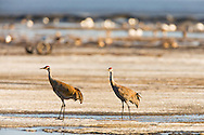 Pair of Sandhill Cranes (Grus canadensis)  foraging on the Susitna Flats State Game Refuge near Beluga in Southcentral Alaska during the spring migration. Evening.