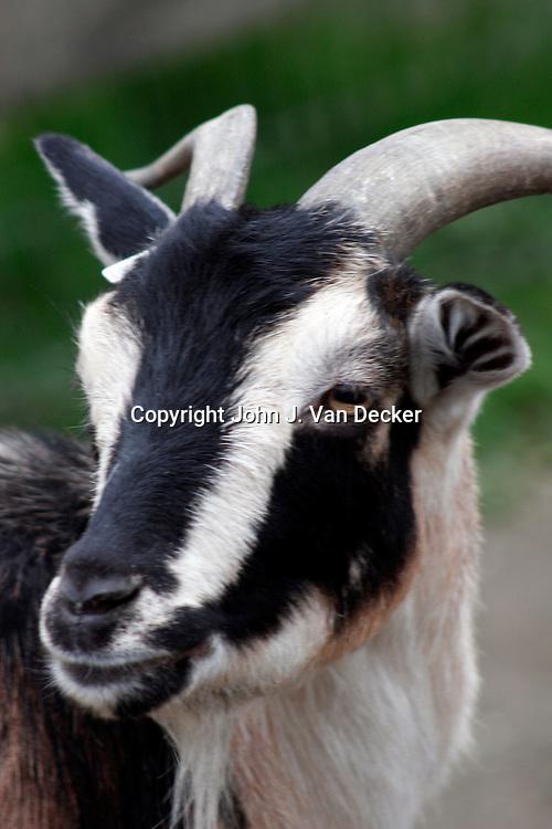 San Clemente Goat