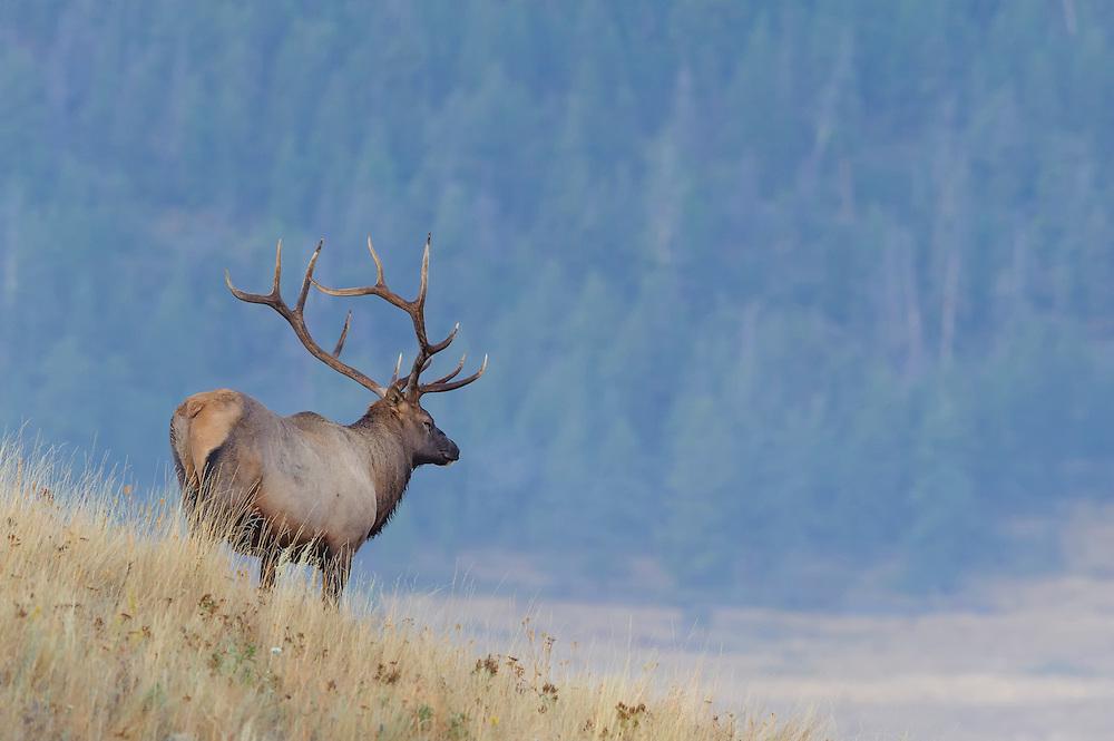 Bull Elk on HIllside, Western Montana