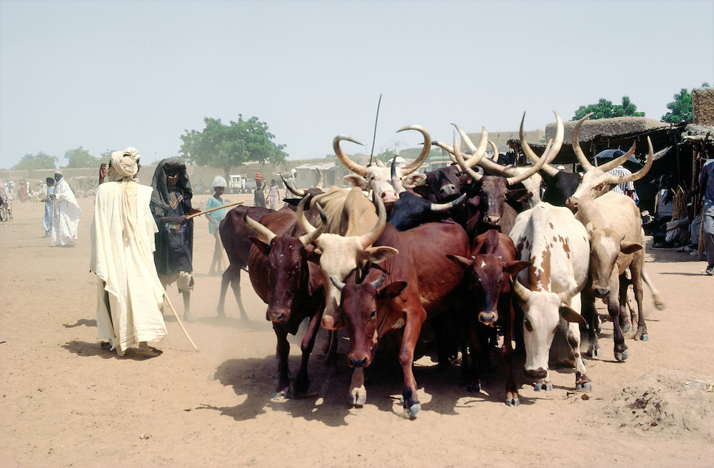 Tuareg tribesmen herders with Zebu cattle in market town of Ayorou in Niger near border with Mali west Africa
