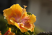 Yellow and orange Hibiscus flower in Hawaii