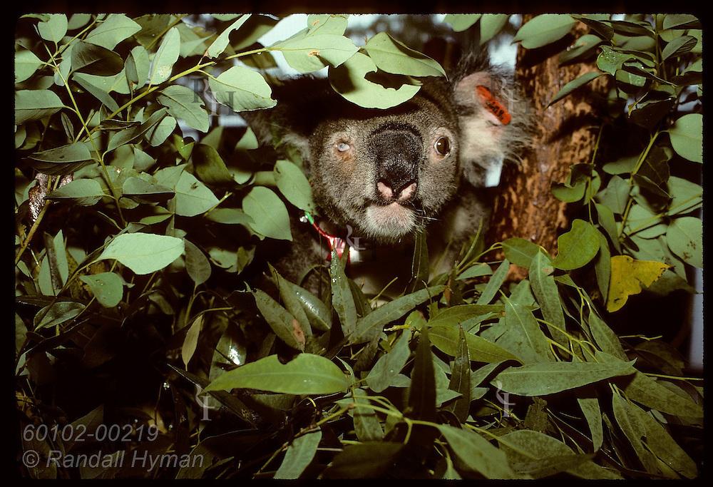 Half-blind, rehabbed koala peers from eucalyptus leaves in cage @ Univ of Queensland; (h) Brisbane Australia
