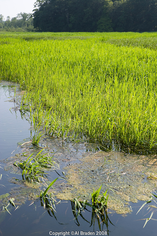 Wild rice growing in the summer at Whalebone Cove, Hadlyme, CT