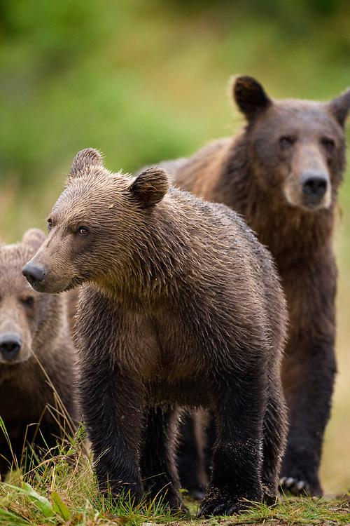 USA, Alaska, Katmai National Park, Kinak Bay, Brown Bear yearling cubs (Ursus arctos) walk with mother along river bank on autumn afternoon