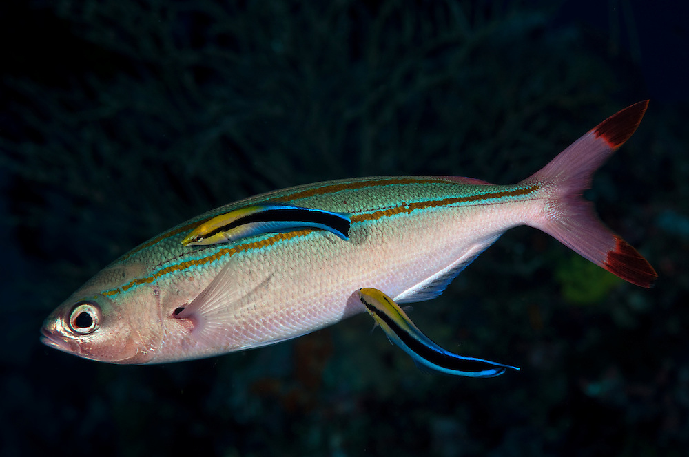 Like many reef fish, fusiliers use the services of small wrasse at cleaning station.  The cleaner wrasse pick off dead skin and parasites from the surface of the larger fish.  Many fish signal their desire to be cleaned by changing color.  Fusiliers turn a shade of red and display greenish stripes, coloration only normally displayed at night.