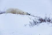 A napping polar bear (Ursus maritimus)