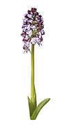 Lady Orchid - Orchis purpurea