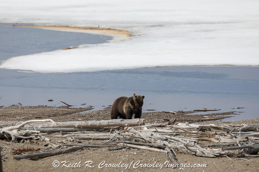 Grizzly bear in shoreline habitat